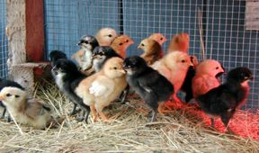 chicks_oct_06.jpg